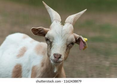 funny portrait of goat in a meadow