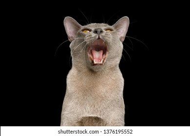 Funny Portrait of Gray Cat, with opened mouth, asking food, on isolated black background