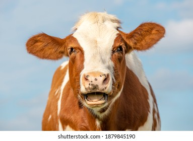 Funny portrait of a mooing cow, laughing with mouth open, showing gums and tongue