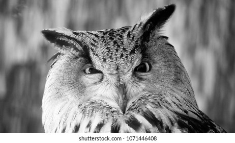 Funny portrait of an owl, black and white