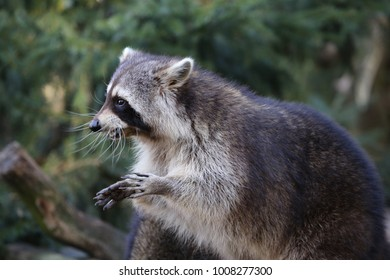 funny portrait of an racoon