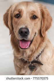 Funny portrait of a red dog Retriever