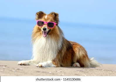 Funny portrait of sable and white  shetland sheepdog with stylish pink sunglasses on holidays. Cute little lassie, sheltie, collie lies outdoors with background of blue sky and sea.Hot summer vacation