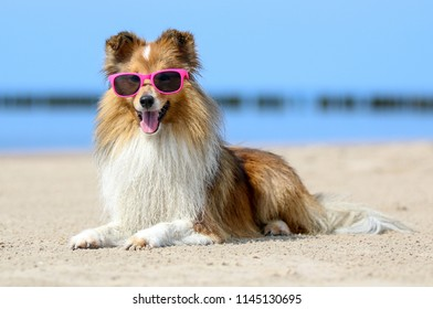 Funny portrait of sable and white  shetland sheepdog with stylish pink sunglasses. Cute little lassie, sheltie, collie lies outdoors with background of blue sky and sea. Hot summer weather, vacation