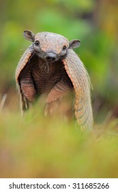 Funny portrait of Southern Naked-tailed Armadillo, Cabassous unicinctus, animal from Pantanal, Brazil.