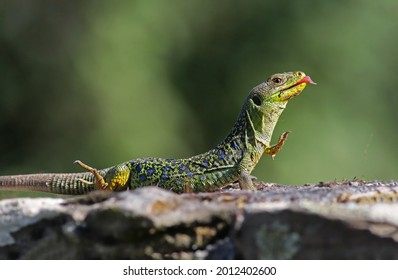 Funny portrait of a stunning male ocellated lizard (Timon lepidus) with vibrant colors stretching under the sun. Playful exotic lizard licking its mouth after eating in natural environment. - Shutterstock ID 2012402600