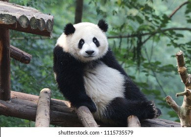 Funny Pose of Giant Panda , China