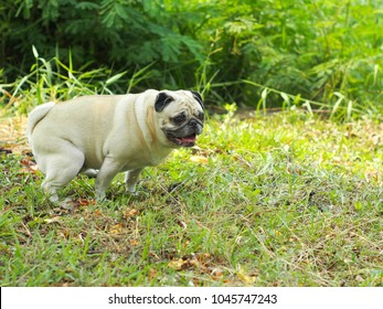 funny posture of a young cute fat pug dog pooping on green grass garden floor outdoor happy relax mood on a sunny day