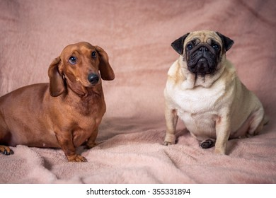 Funny Pug and Dachshund