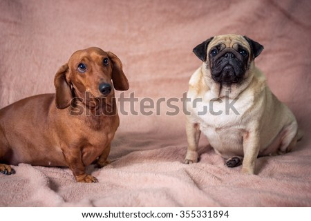 Funny Pug Dachshund Stock Photo Edit Now 355331894 Shutterstock