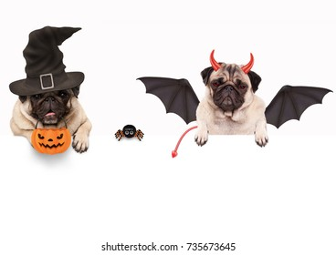 funny pug dog dressed up for halloween with spider and pumpkin basket, isolated objects on white background