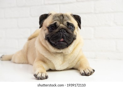 Funny pug dog lies on the background  of a white brick wall . Happy  funny pug  . Dog  grooming concept .Copy space for text .
