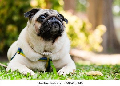 Funny pug dog lying on grass with blurry background.