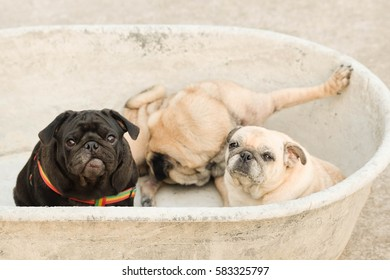 Funny pug dog playing in big bowl on concrete road.