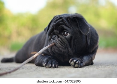 (Funny pug dog playing with branch on concrete road.)