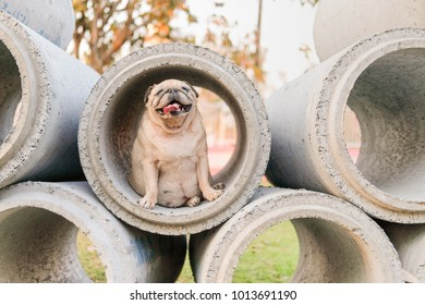 Funny pug dog playing in concrete tube background.