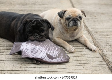 Funny pug dog playing with fish bag on concrete road.
