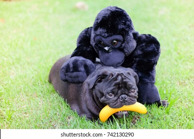 Funny Pug dog playing with Gorilla doll and banana toy.