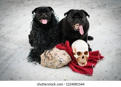 Funny pug dog playing with Hallween costume.