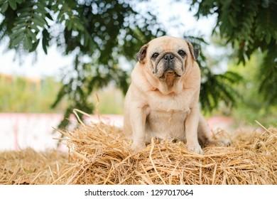Funny Pug dog playing on Straw.