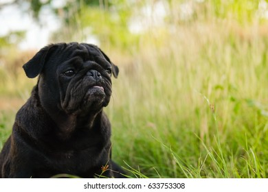 Funny Pug dog playing on grass With flower.