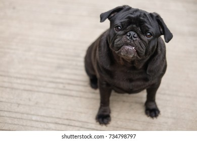 Funny pug dog playing on concrete road.