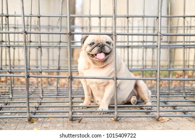 Funny pug dog playing with Steel wire mesh construction.