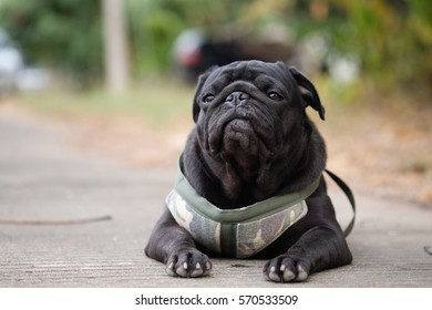 Funny pug dog sitting to eat dog snack on concrete road.