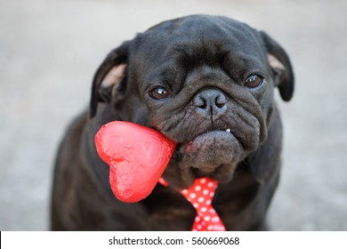 Funny pug dog sitting with Red Heart  chocolate in valentine day.