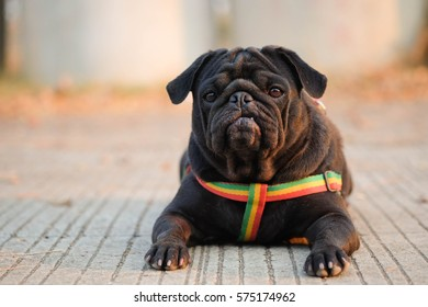 Funny pug dog waiting to eat dog snack on concrete road.