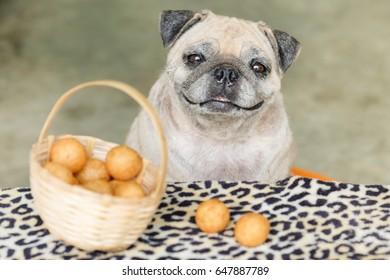 Funny pug dog waiting to eat Thai Fried Sweet Potato Balls.