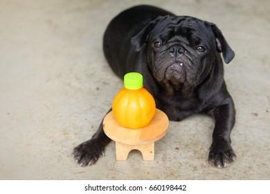 Funny pug dog waiting to eat Orange juice.