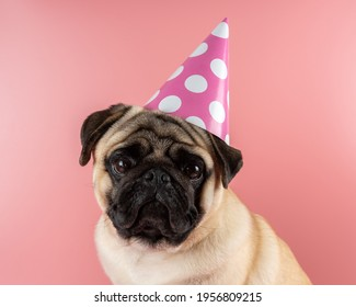 Funny Pug dog wearing happy birthday hat on pink background.