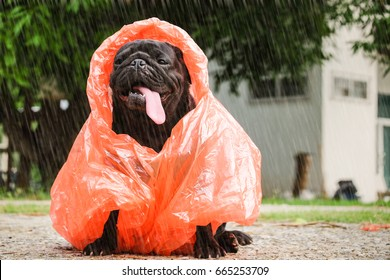 Funny pug dog wearing orange raincoat in raining day.