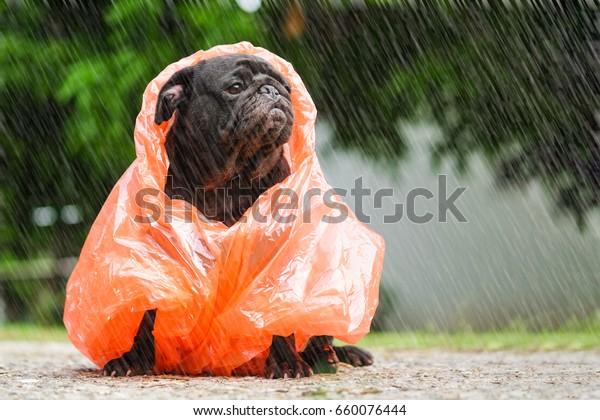 Funny pug dog wearing orange raincoat in raining day.