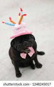 Funny Pug dog wearing pink happy birthday hat.