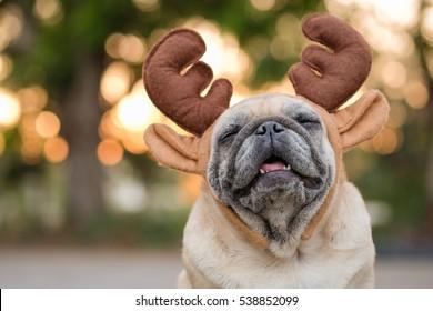 Funny pug dog wearing reindeer headband for christmas.