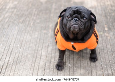 Funny pug dog wearing sport costume on concrete road.