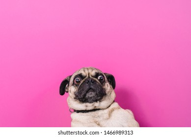 funny pug with pink background