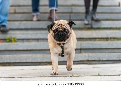 Funny pug walking on a sidewalk in a autumn park