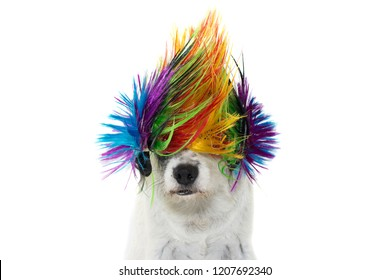 FUNNY PUNK ROCK DOG WEARING A COLORED WIG. ISOLATED AGAINST WHITE BACKGROUND FOR CANIVAL, MARDI GRAS, HALLOWEEN OR NEW YEAR PARTY.