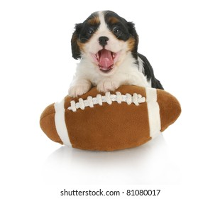 funny puppy- cavalier king charles spaniel with silly expression on stuffed football