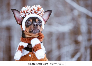 Funny puppy, a dog in a winter hat with pumples in a snowy forest. A dog in clothes .. Space for text