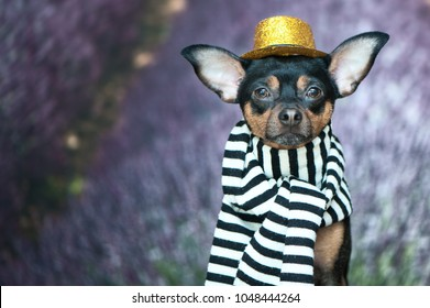 Funny puppy in the image of a French mime, a comedian. France Paris. Portrait of a dog in a hat and scarf on the background of a lavender field.
