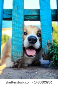 funny puppy red the Corgi dogs curiously stuck their snout and paws into the cracks of the wooden fence in the garden guarding their territory and stuck out their tongue