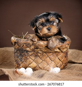 Funny puppy sitting in a basket with bird eggs