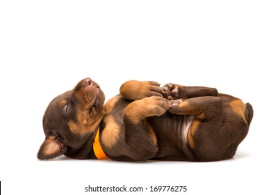 Funny puppy sleeping upside down isolated on white background