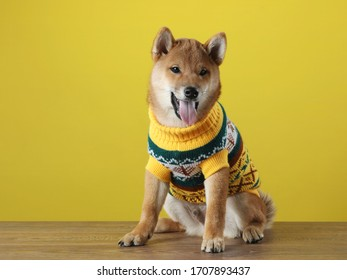 funny puppy in a sweater. Shiba Inu dogs on a in yellow background.