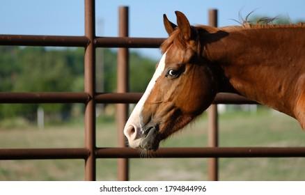 Funny Quarter horse smirk on face of brown gelding.
