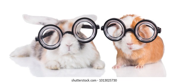 Funny rabbit with guinea pig in funny glasses isolated on white